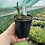 Thumbnail: Roscoea purpurea