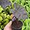 Thumbnail: Colocasia 'Black Coral'