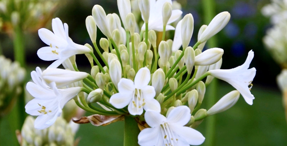 Agapanthus 'Icicles'  (Duivenbrugge White)