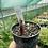 Thumbnail: Roscoea purpurea 'Cinnamon Stick'