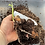 Thumbnail: Hedychium flavescens