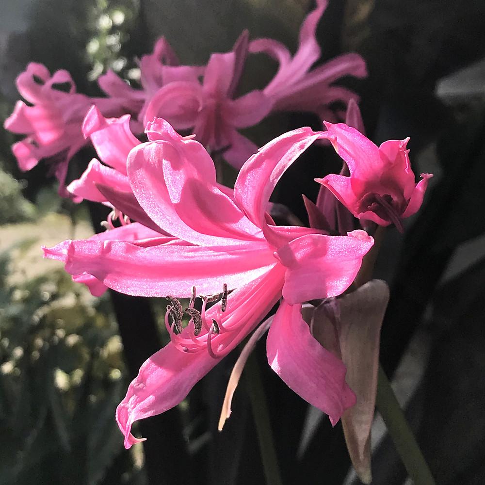 Amarine flowering in late September at Blue Nurseries Ltd