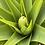 Thumbnail: Kniphofia Northiae