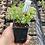 Thumbnail: Aptenia cordifolia 'Red Apple'.