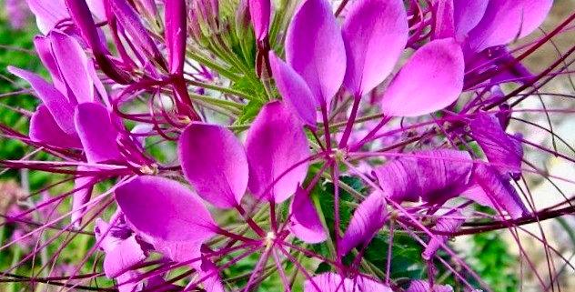 Cleome 'Violet Queen'