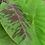 Musa acuminata 'Dwarf Cavendish' leaf