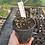 Thumbnail: Cautleya spicata robusta