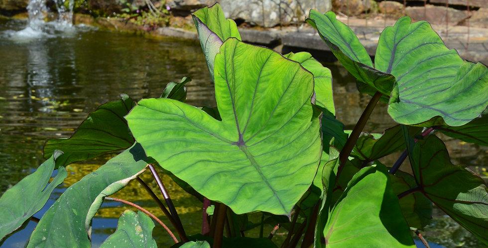 Colocasia 'Blue Hawaii'