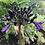 Agapanthus Poppin Purple available for sale