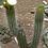 Trichocereus chilensis flowering