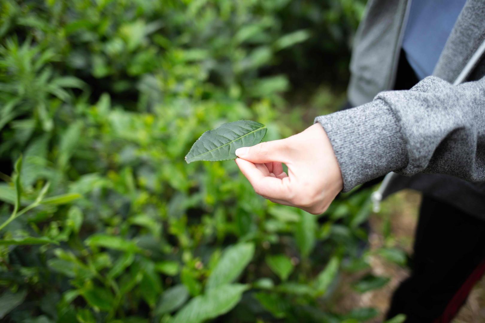 large tea leaf