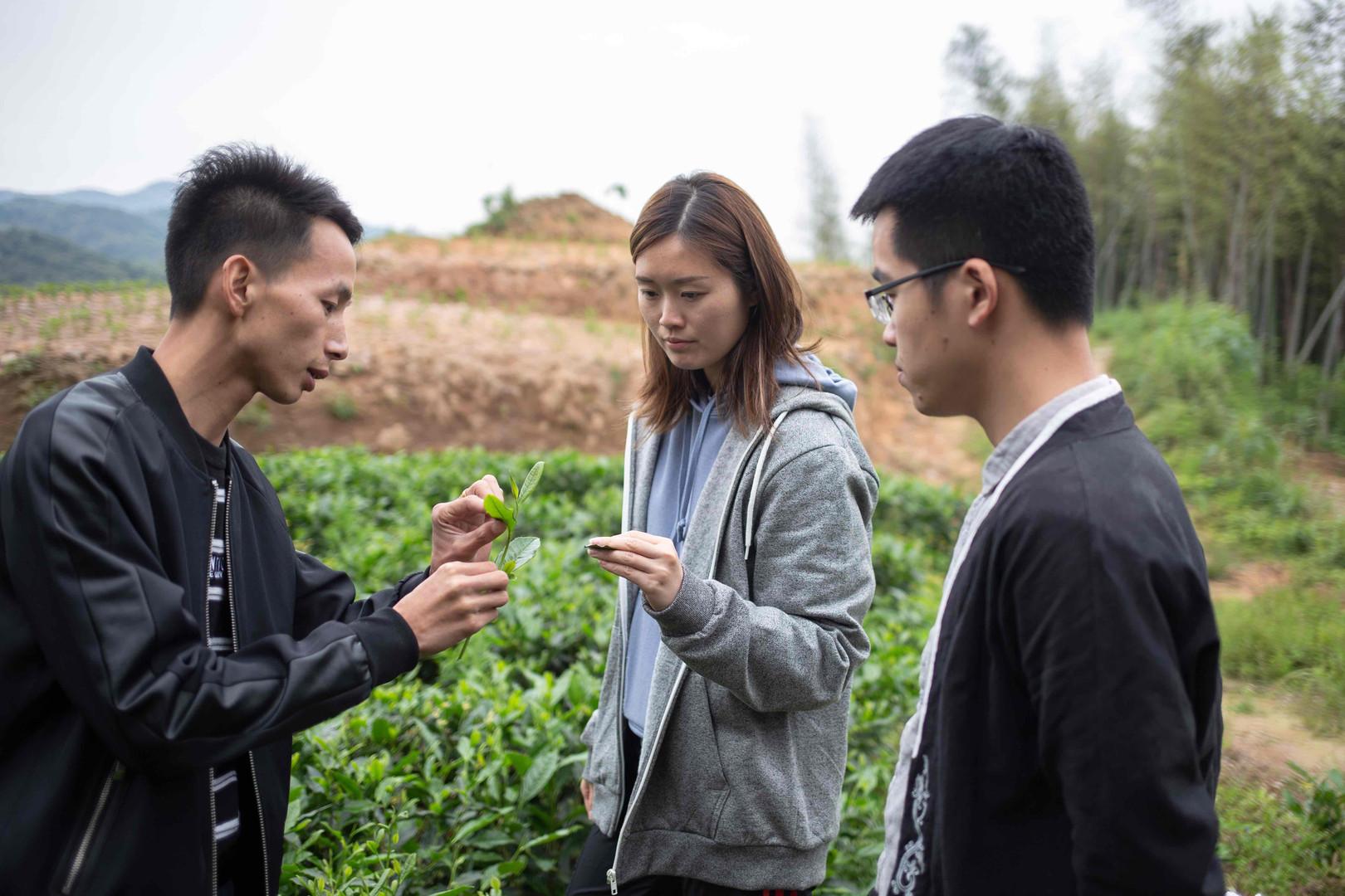 young tea plantation