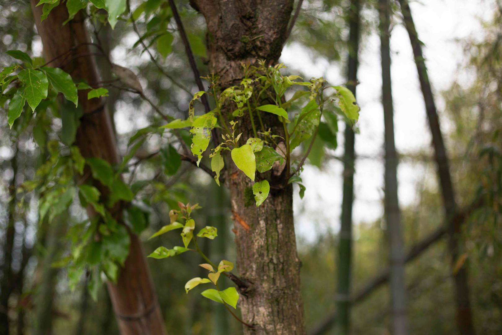 Gu Shu - ancient white tea tree