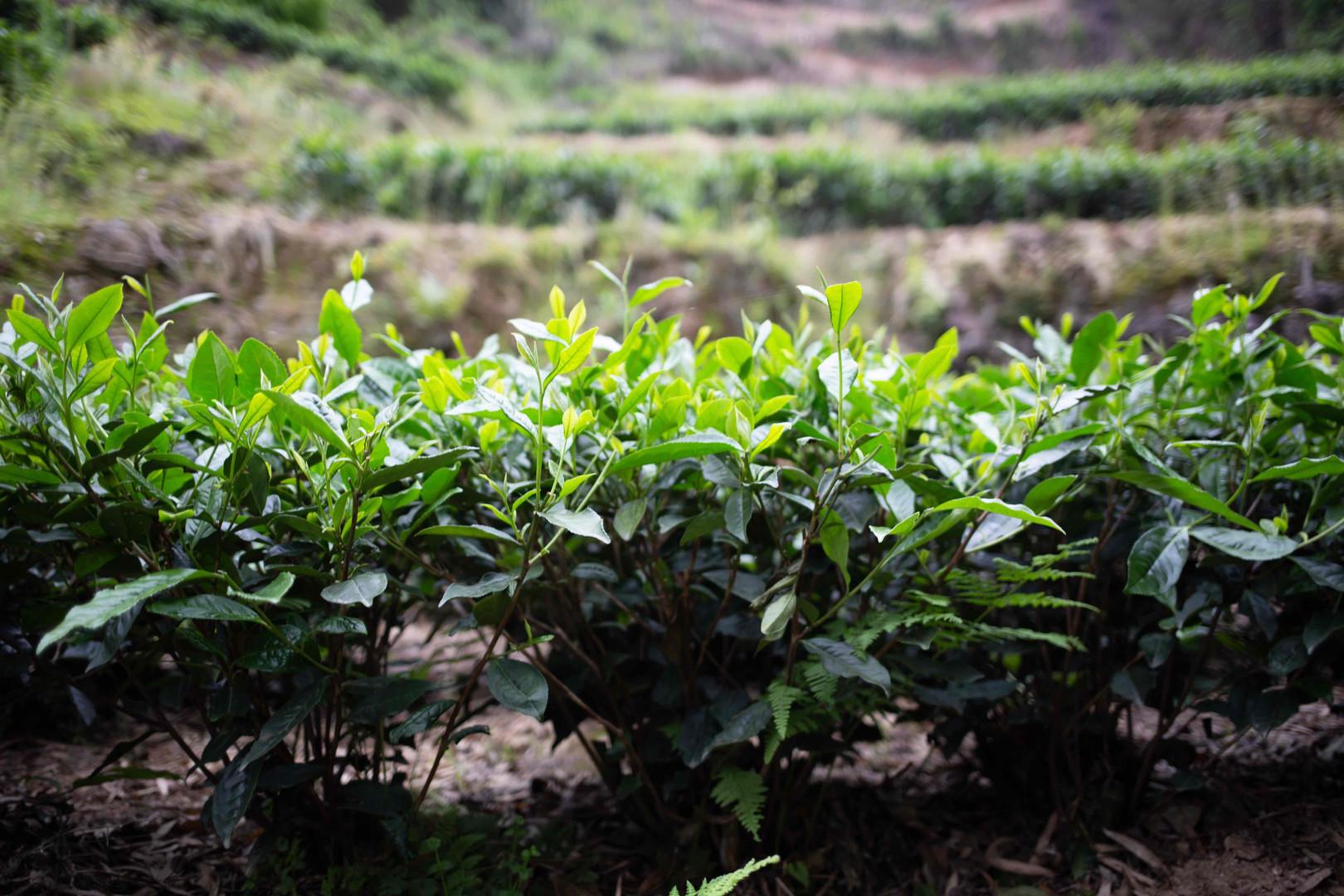 Mature Tea Bushes - Lao Shu