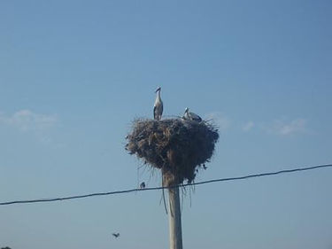 Bulgarian Crane Nesting on Telegraph Pole  - Bulgarian British Partnership