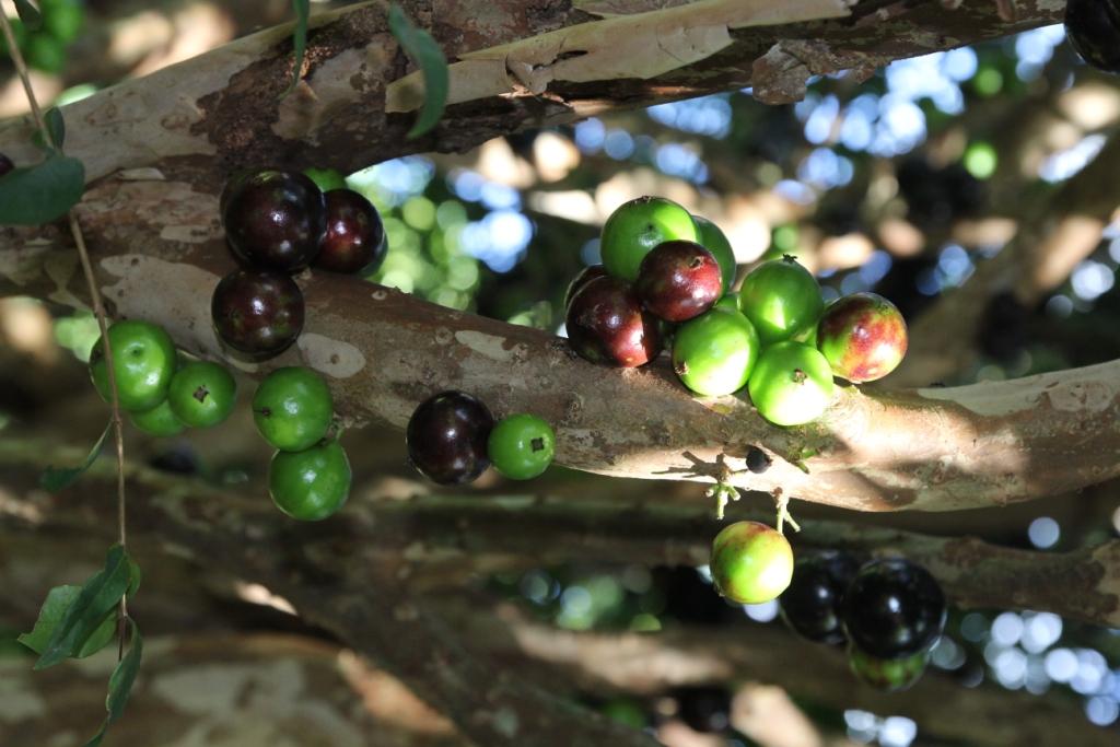 recolte jabuticaba (1).JPG