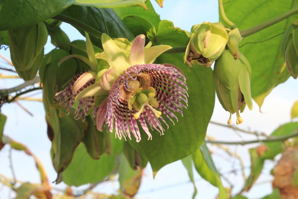 Fleure de Granadillas ( Pérou)