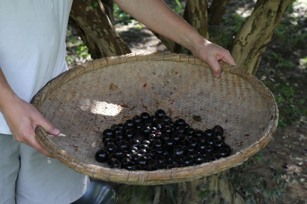 recolte jabuticaba (2).JPG