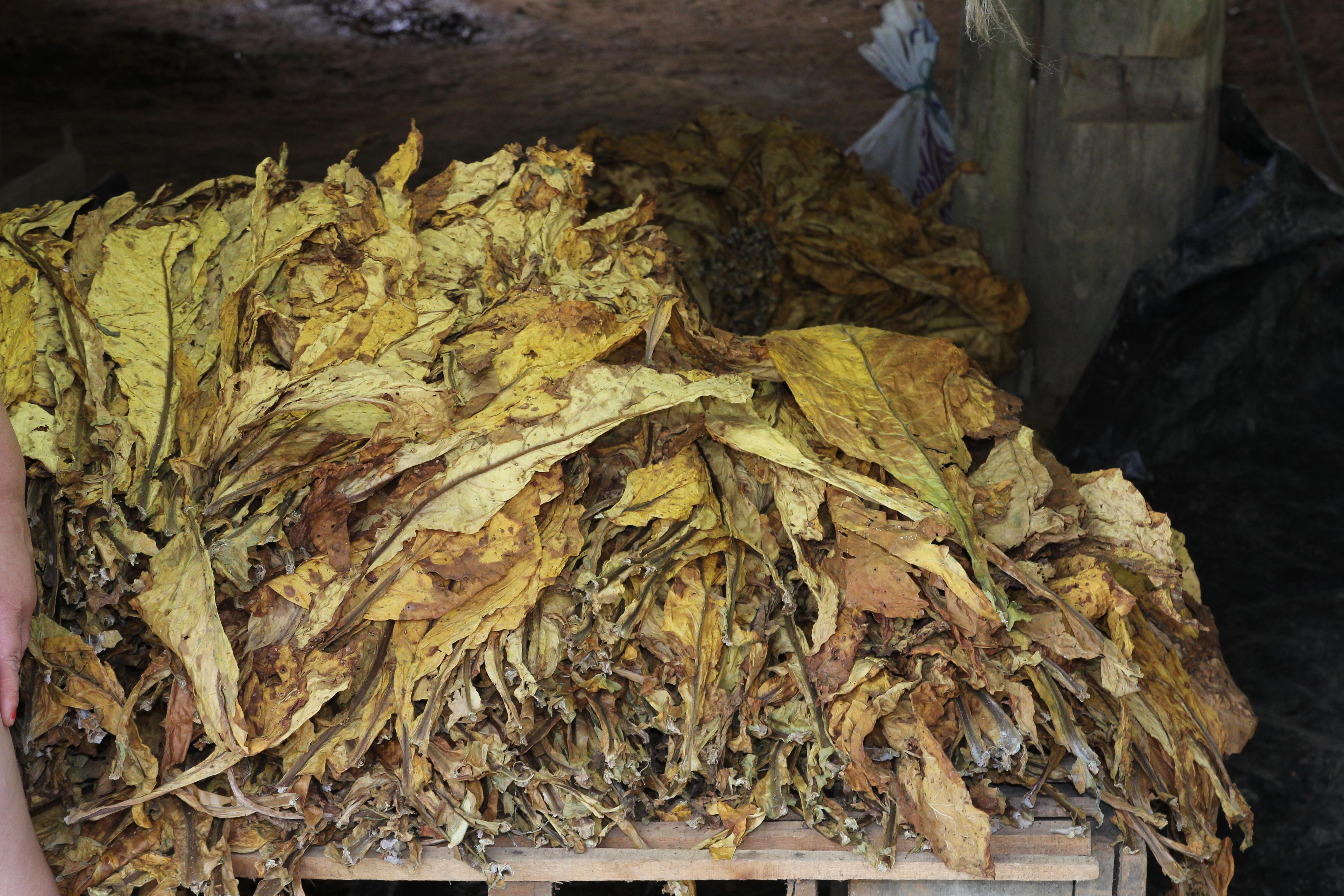 feuilles de tabac.JPG