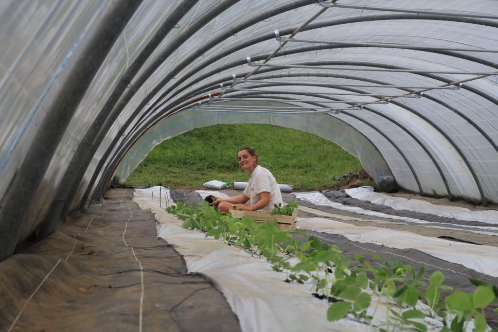 La plantation des fraisiers