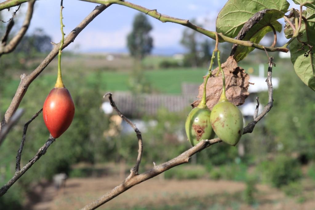 Plan de tomates arbol