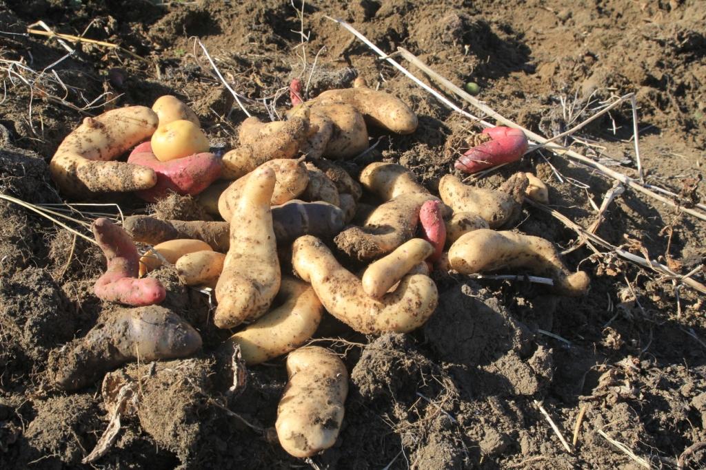 Diversité de pommes de terre, Chiloé