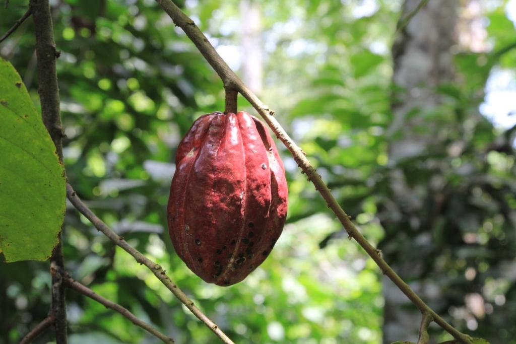 Cacao en Equateur