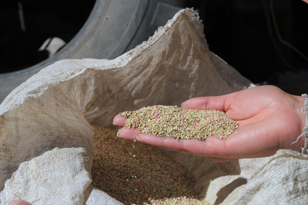 Quinoa San Pedro de Quemes, Bolivie