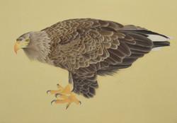 15-尾白鷲