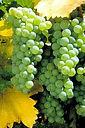Sauvignon Blanc Ποικιλία σταφυλιού