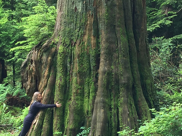 An old tree, a very old tree. This B.C. cedar was was 300 years old when Shakespeare learned to write.