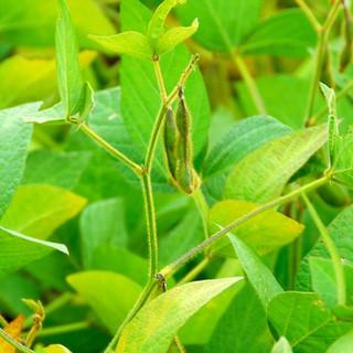 header-soybean.jpg