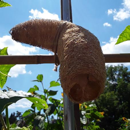 Loofa Gourds...