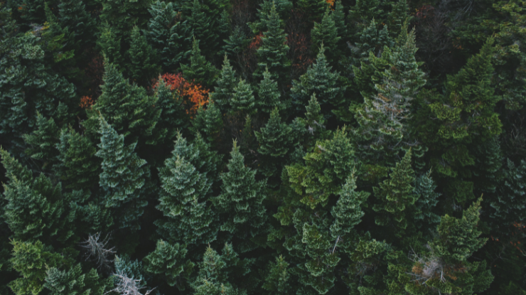 forrest of evergreen trees from the sky