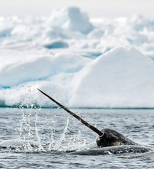 Narwhal_Tusk_AB-1571-by-Michelle-Valberg