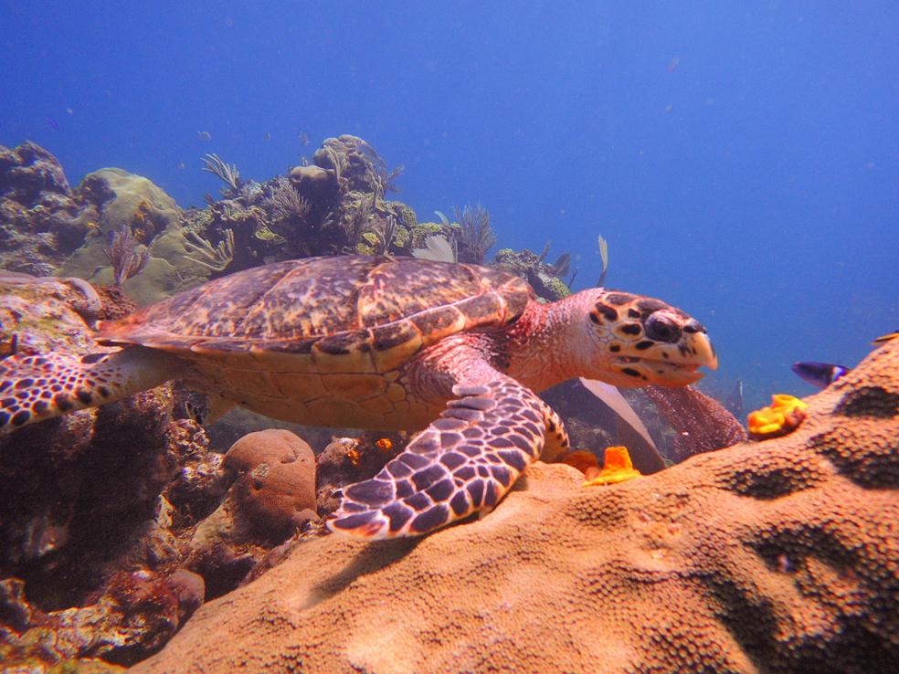 buceo_scuba_snorkel_diving_vivescuba_tortuga_01
