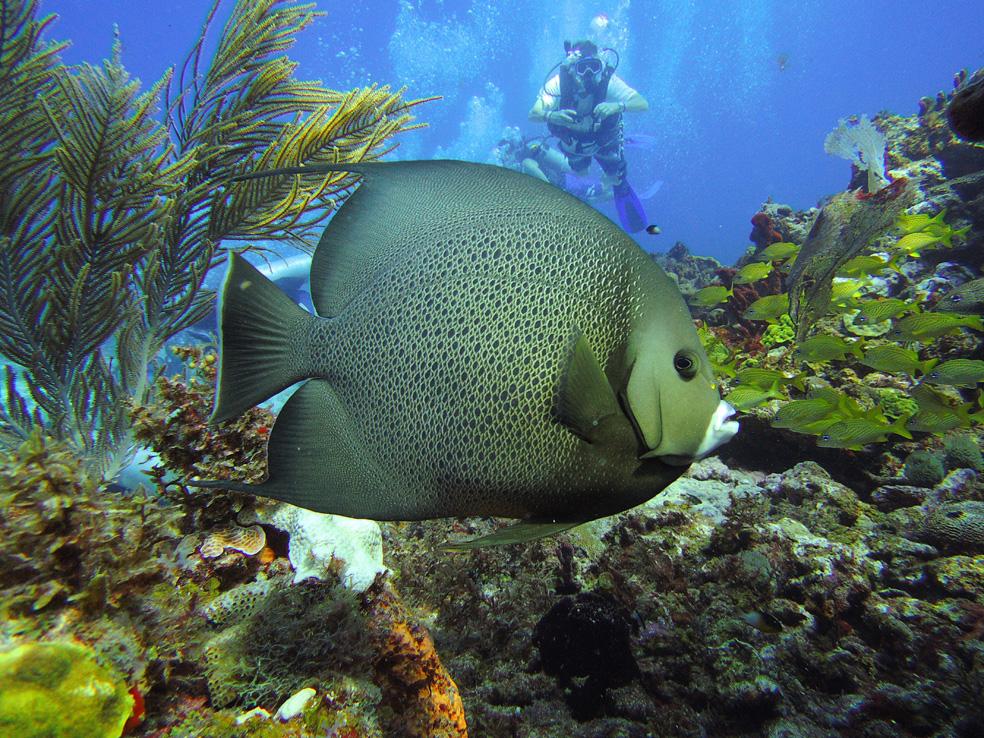 buceo_scuba_snorkel_diving_vivescuba_angelfrances_02