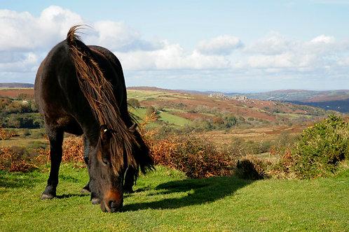 Dartmoor Native