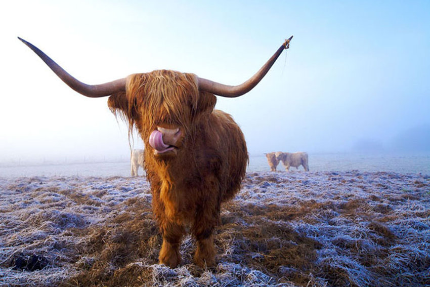 Highland cow image on a frosty morning