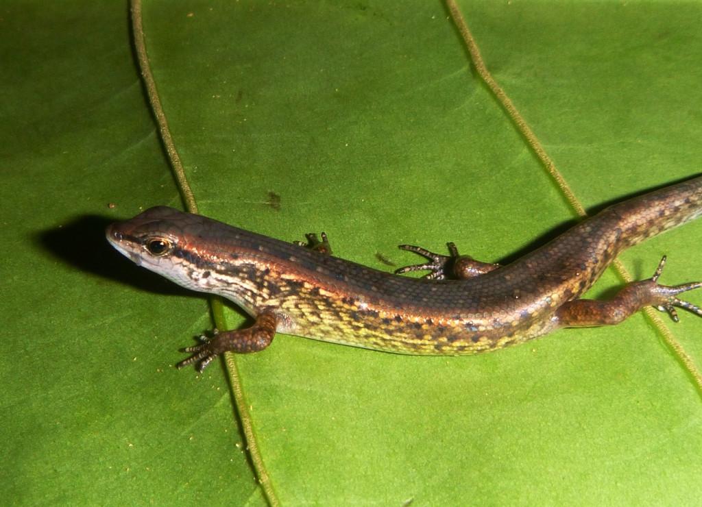 Panaspis breviceps