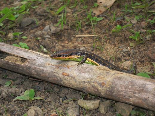 Trachylepis paucisquamis