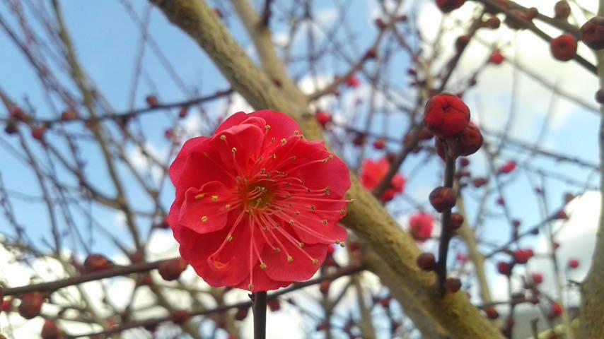 紅梅が咲き始めました