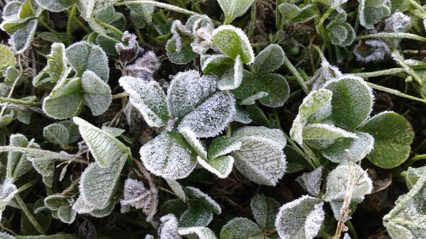 霜の降りたクローバー