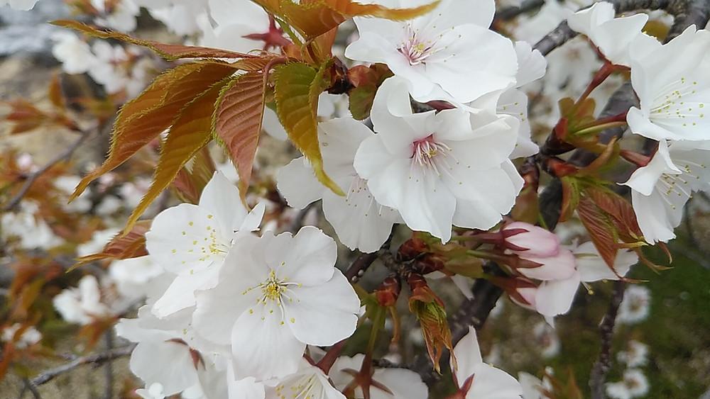 しだれ桜(4月5日撮影)
