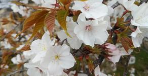 桜の花と「自律神経」