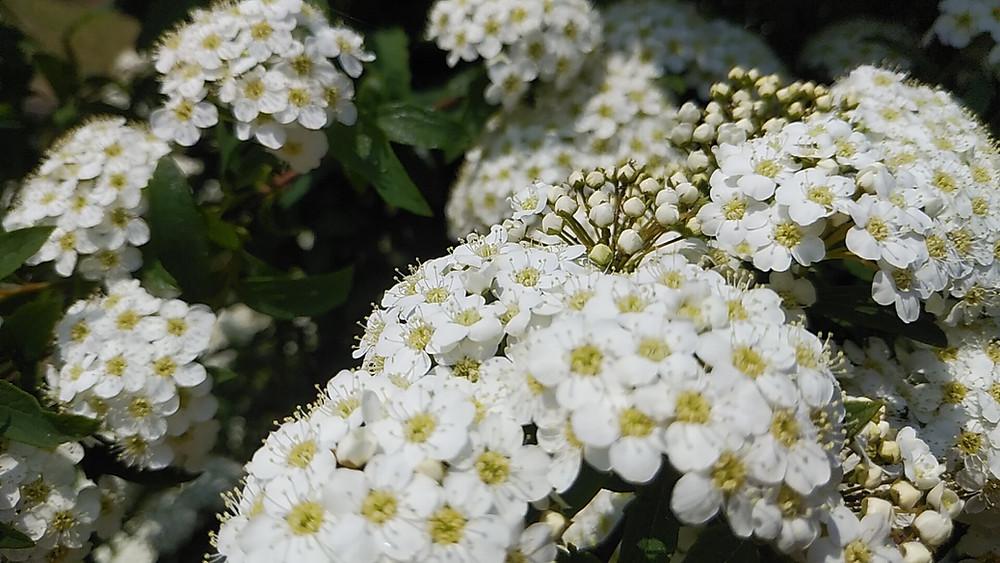 コデマリの花(4月19日撮影)