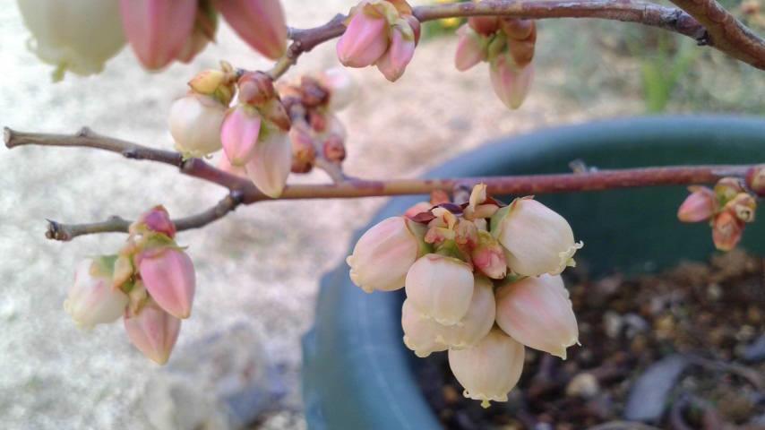 ブルーベリーの花(1cmに満たない小ささ)