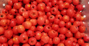 Rowan berry jelly - a lost art?