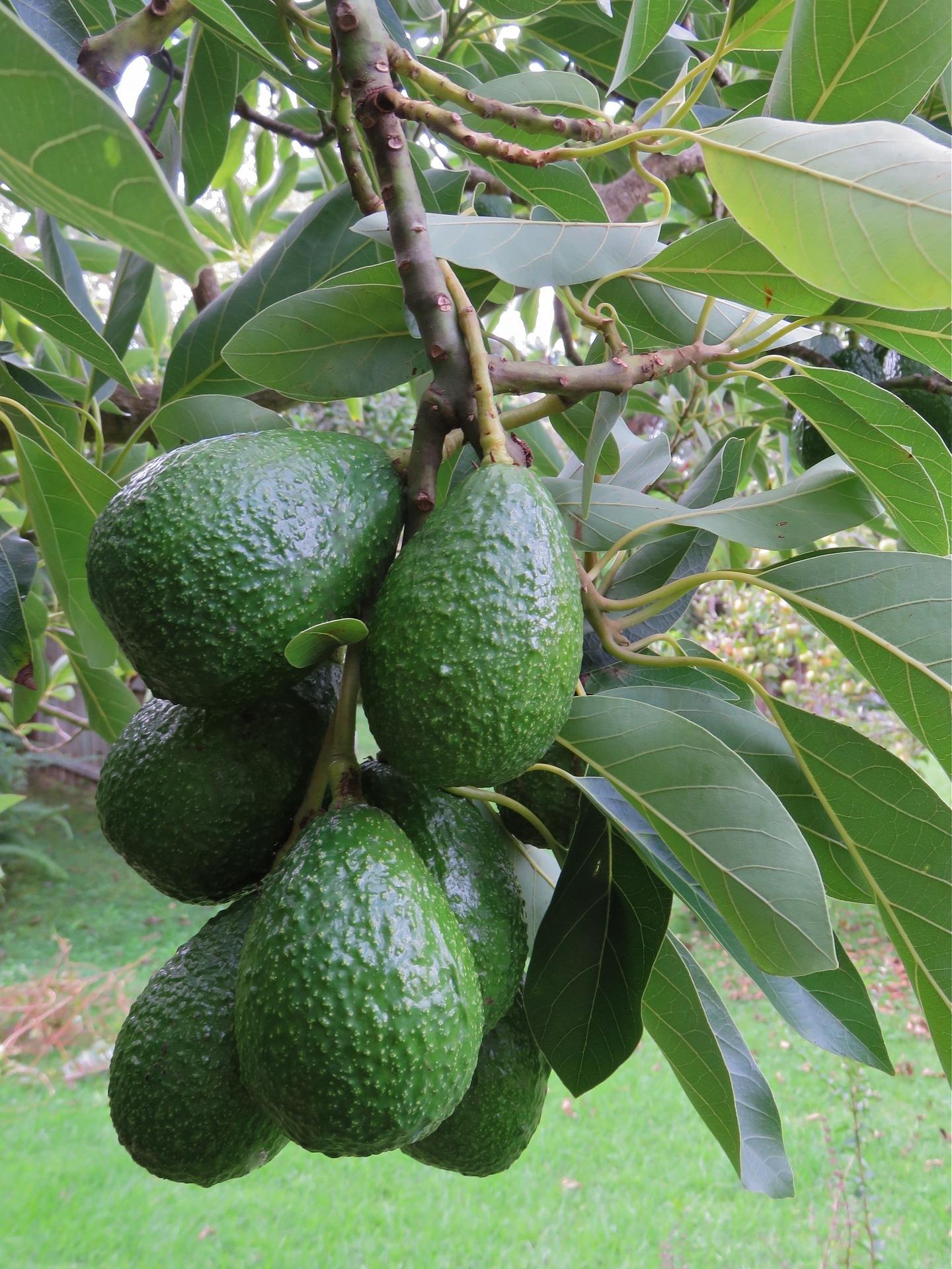 avocado-1304022_1920 (2)