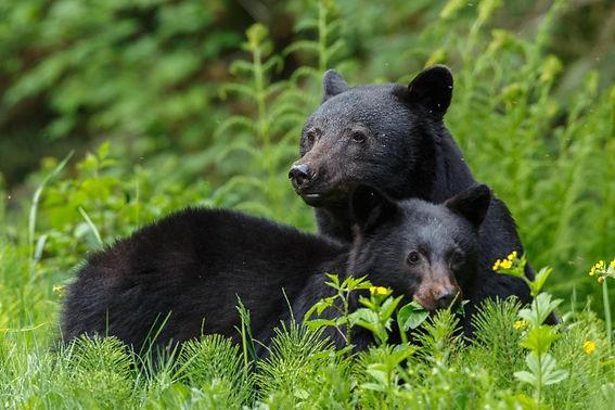 Blackbears stock.jpg